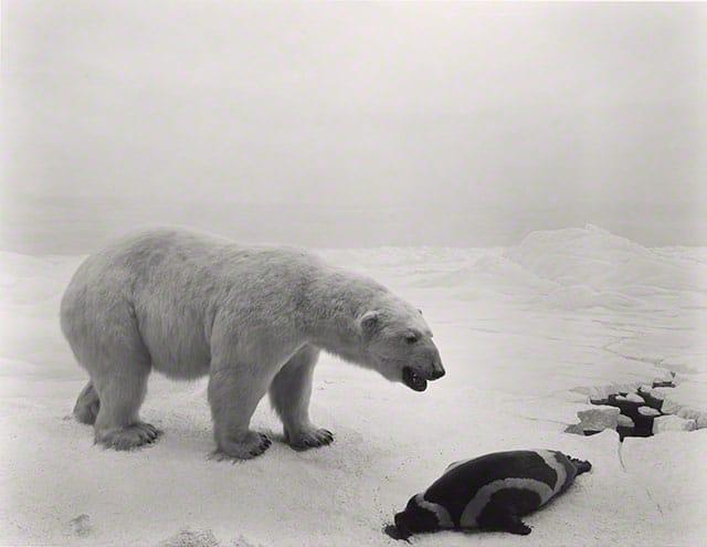 Polar Bear, 1976, Sugimoto